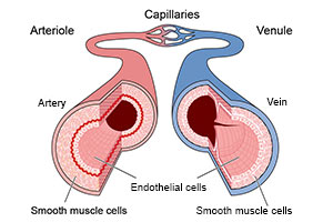 endothelial cells functions